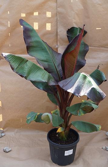Banana Plant - Ensete Ventricosum 'Maurelii'