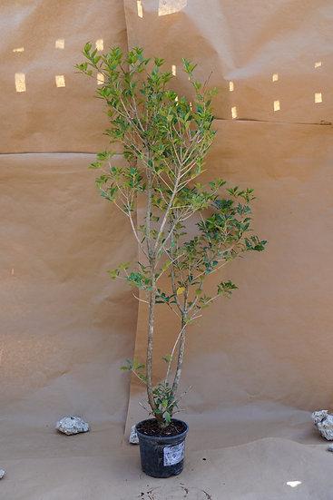 Osmanthus Heterophyllus 'Goshiki' Holly Tree