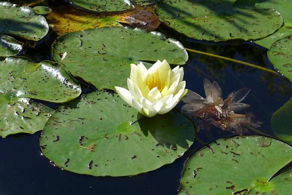 Lotus_Vivant Fane.JPG