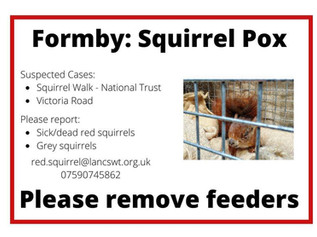 Possible squirrel pox in Formby