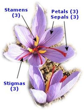 saffron - flower.jpg