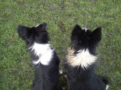 Sheepdog training by Dot McCarthy