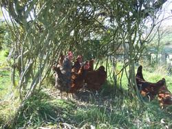 Free range hens for sale, Helmshore