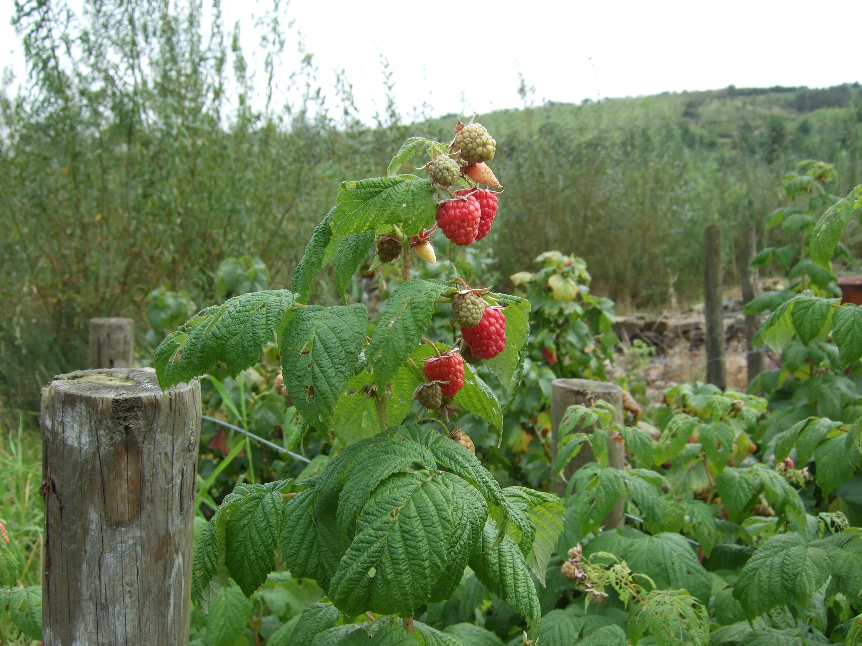 Raspberries for sale, Helmshore