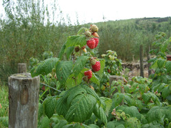 Raspberries for sale, Helmshore