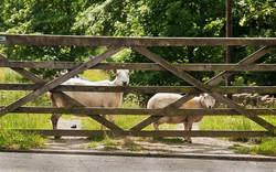sheep looking on