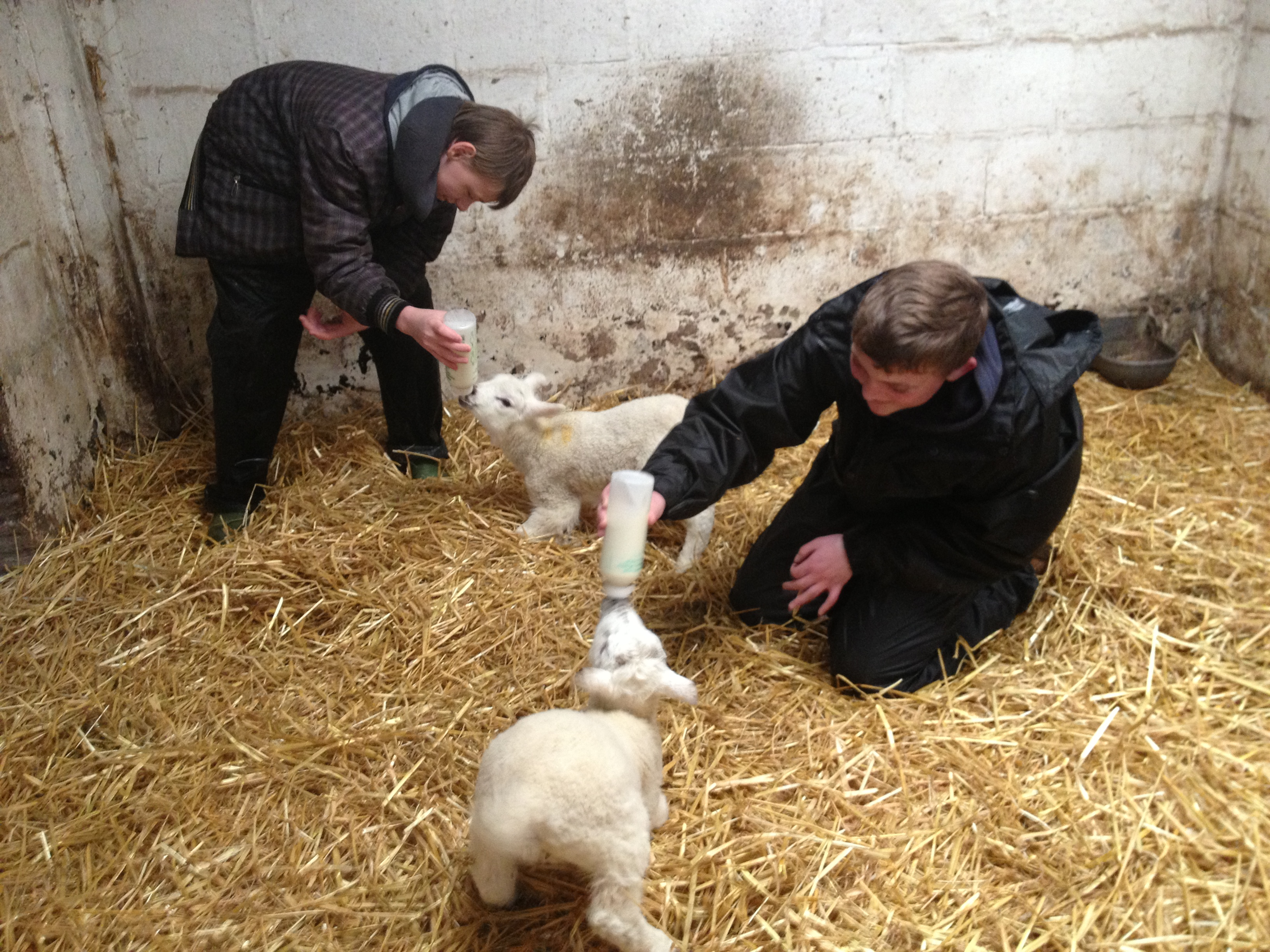 feeding lambs at Cronkshaw Fold Farm