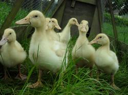 Duck for sale, Helmshore