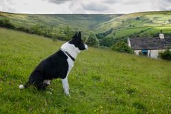 Sheepdog training Cronkshaw Fold