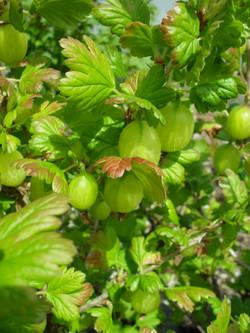Gooseberries for sale, Helmshore