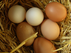Outdoor free range eggs for sale