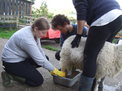 livestock care