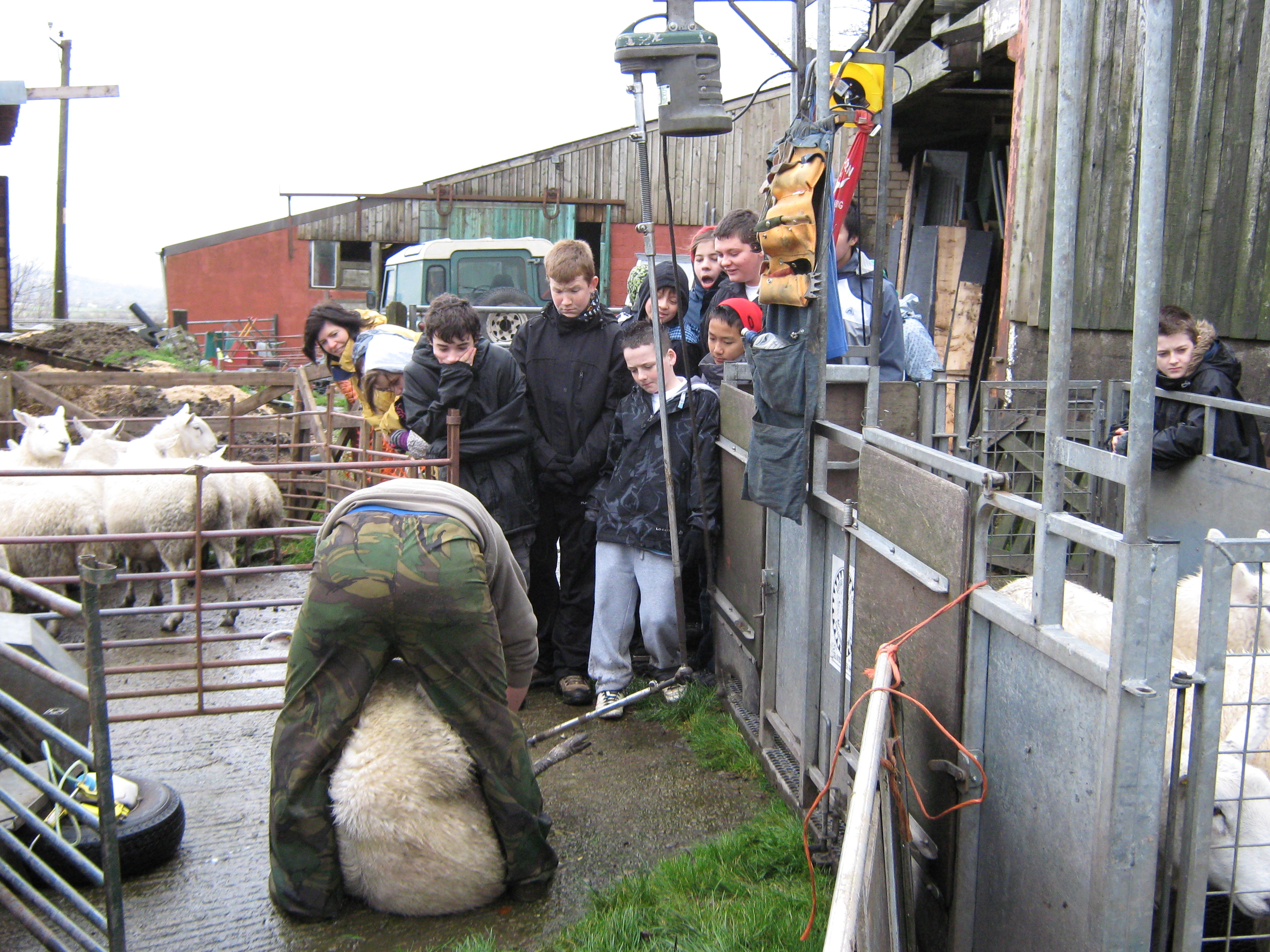Watching sheep being clipped