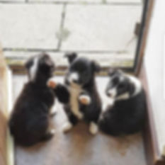 ISDS sheepdogs for sale LANCASHIRE