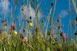 meadow grass Rossendale