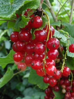 Red currents for sale, Helmshore