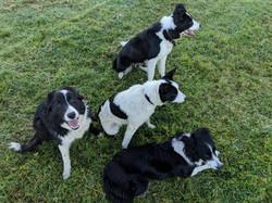 sheepdog training with Dot McCarthy
