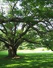 ames-cork-tree.jpg