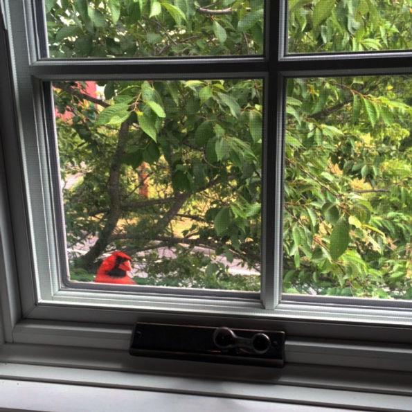 Cardinal at window.JPG