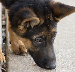 What to look for in a German Shepherd Puppy