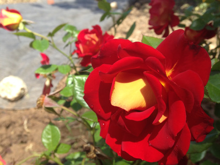 Roots of recovery ( An urban garden story)