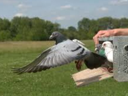 1000s of Homing Pigeons go missing.