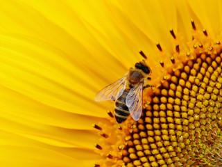 BBT-sunflower-bee-close-up-flower-219867