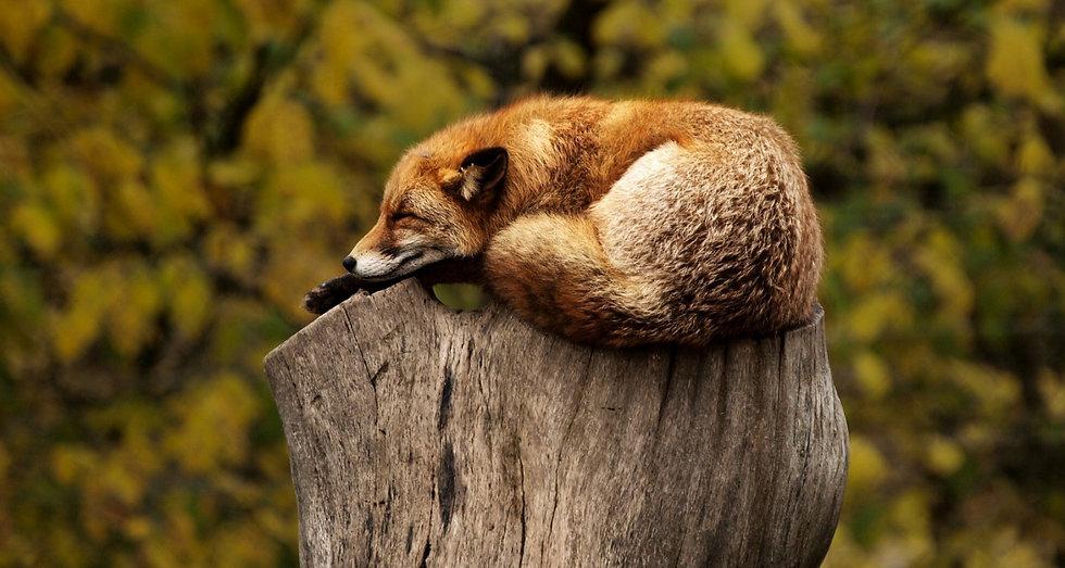 fox-1284512_1920_edited.jpg
