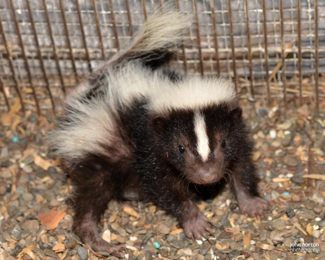 Skunk Babies 070516_03a