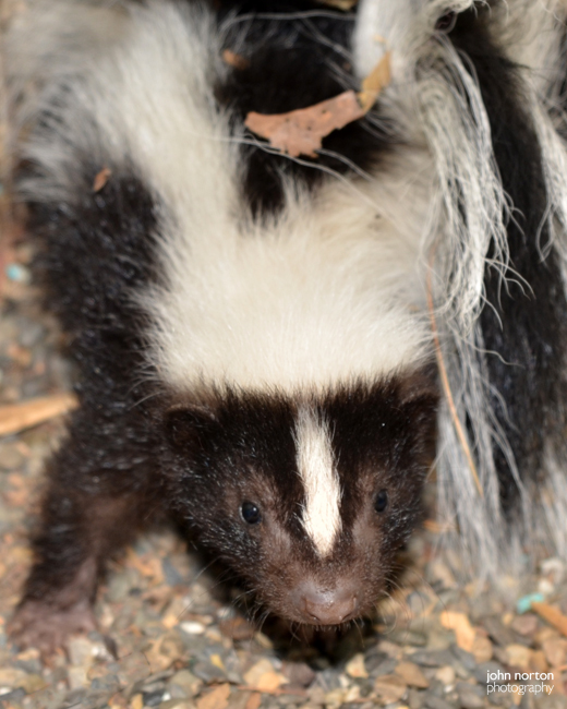 Skunk Babies 070516_01a