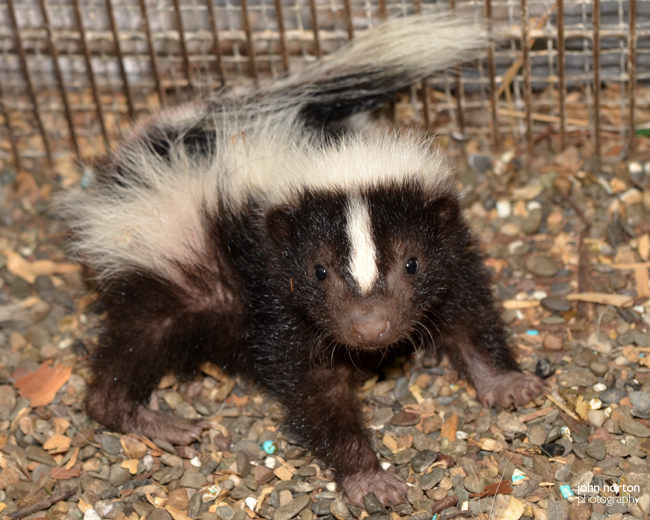 Skunk Babies 070516_02a