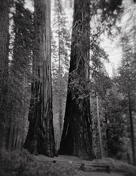Two Sequoias, Yosemite National Park