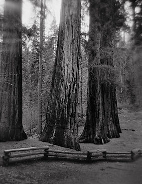 "Five Sequoias, Merced Grove, Yosemite National Park 2018 - 17""x13"""