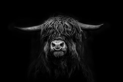 Black and white wall art of highland bull