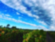 Lush vineyards under a blue sky with an interesting cloud pattern