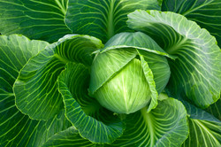 greencabbage.jpg