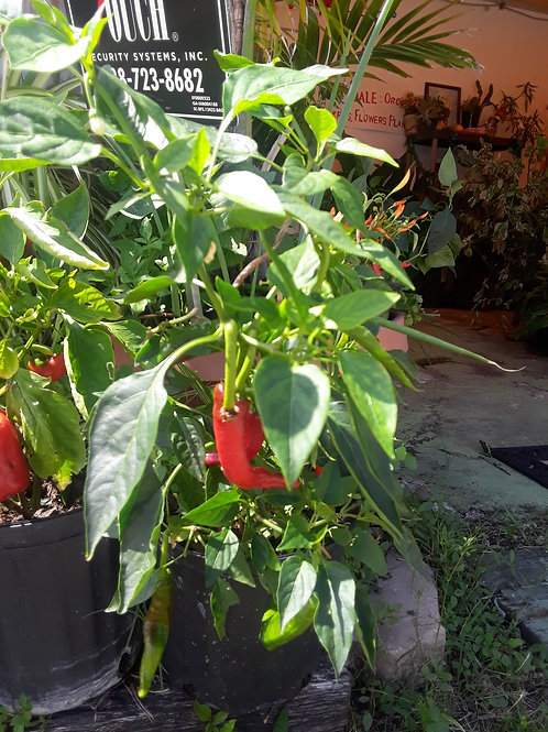 Non GMO Chilli Pepper Plant 無基改辣椒樹