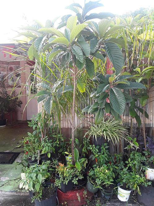 Non GMO Loquat Tree 無基改批杷樹