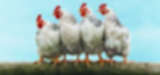 Happy free range Chicken dust bath red mites chicken lice urban chicken coop diatomaceous earth DE essenial oil
