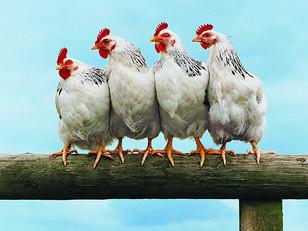 15 Tricks to Streamline your poultry farm - Using Farmbrite