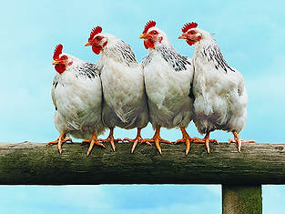 We feed your chickens!  -  Santa Barbara Pet Sitters
