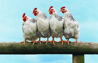 Chickens weaverville asheville nc dog walker pet sitter