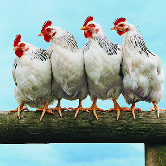 Coming soon... Introduction to chicken health