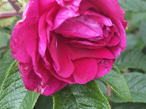 Roseraie de l'Hay (R)