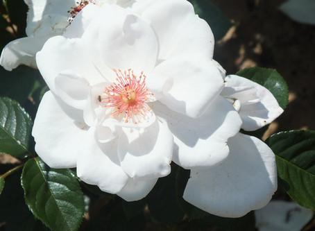 Rose of the Week
