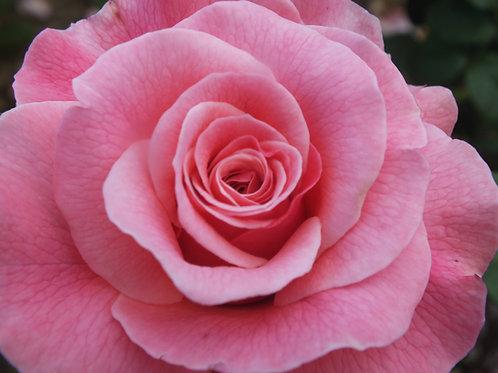 Tickled Pink