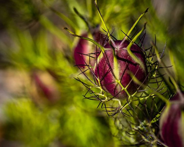 Love in the mist seed pods.jpg
