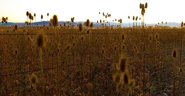 Teasels and barbed wire, Ninepipes refug