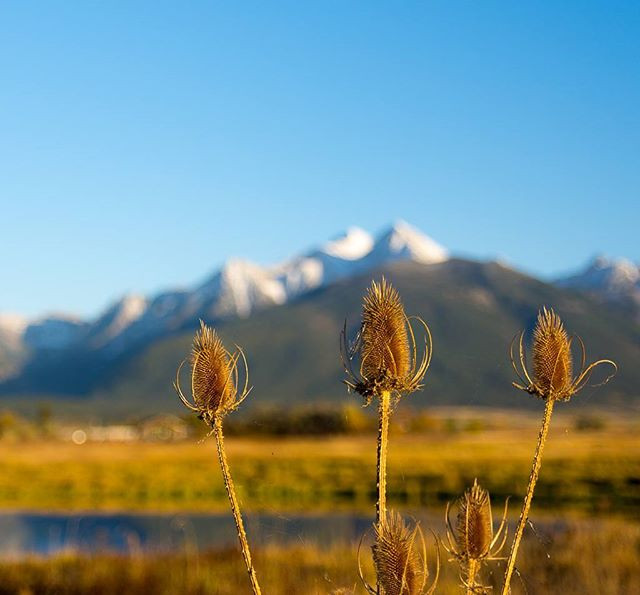 Teasels and mountains at #ninepipesnatio