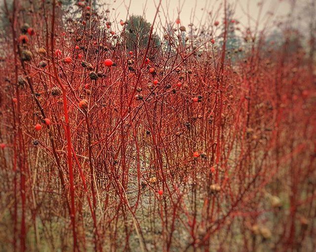 Wild roses_ Birch Bay.jpg